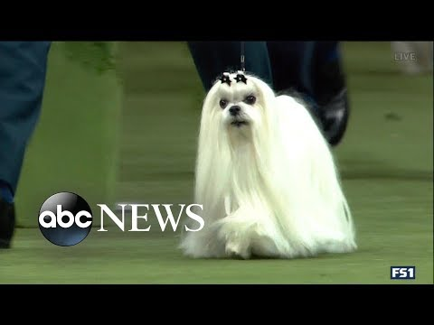 4 dogs advance in Westminster Dog Show | GMA Mp3
