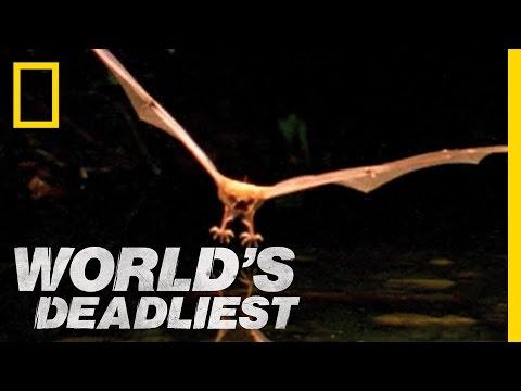 Fishing Bats   World's Deadliest