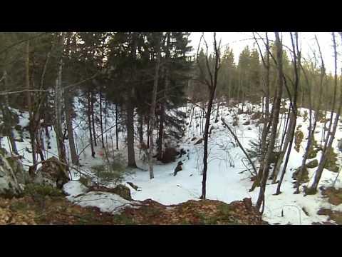 Wolfs kill two dogs. Zelengora hunting. Vukovi ubijaju 2 psa