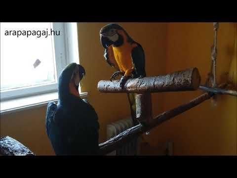Ara papagáj pár