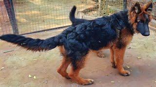 Longcoat German Shepherd Puppy,KCI champion breeder bevkoof bnarhe hai aplogo ka, video jarur dhekhe
