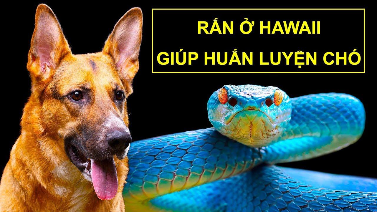 Tại sao không có con rắn nào ở Hawaii