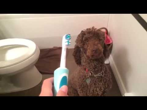 Virgil the Poodle vs. the Electric Toothbrush