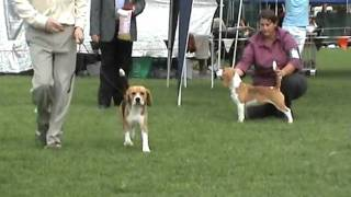 Junior In Show - The Beagle Club Of Nsw (aust) 86th Champ Show - 11 April 2009