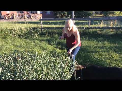 Harvesting Music Garlic Scapes 2018
