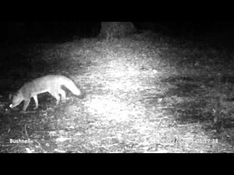 Racoon, Fox, Coyote, And Bird