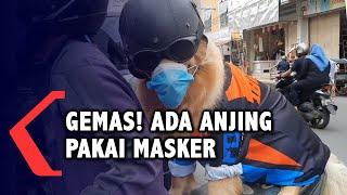 Lucunya! Anjing Ini Pakai Masker dan Helm Saat Diajak Jalan-jalan