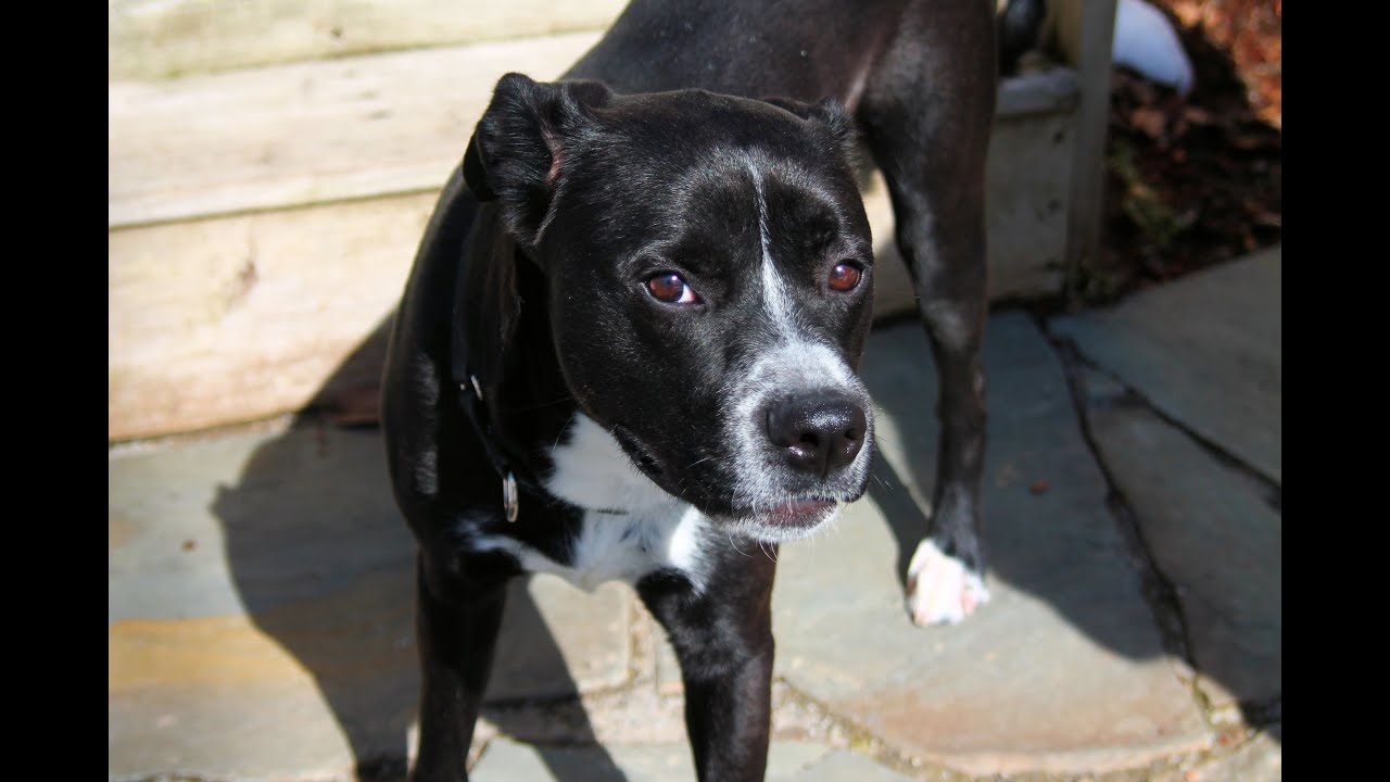bowser an adorable labboxer mix for adoption or 501c3