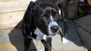 Bowser, An Adorable Lab/boxer Mix For Adoption Or 501(c)(3) Rescue In Manahawkin, Nj