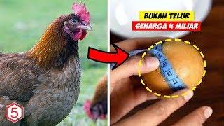 5 Tahun Tidak Pernah Bertelur Ternyata Ayam ini menyimpan Harta ini didalam perutnya..