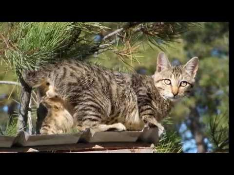 About the American Bobtail