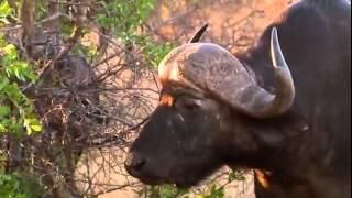 Самые опасные животные. Африка.