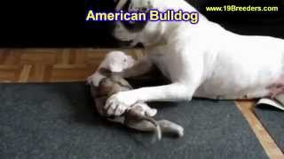 American Bulldog, Puppies, For, Sale, In, Birmingham, Alabama, Al, Montgomery, Tuscaloosa, Jefferson