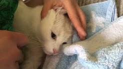 Punkki eli puutiainen poistetaan valkoisesta kissasta - How to remove a tick from a cat