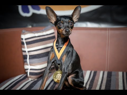 Coffee - Miniature Pinscher - Residential Dog Training