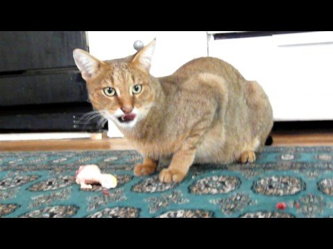 Clive F1 chausie cat eating a drumstick