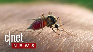 Science to pit mosquitos against mosquitos