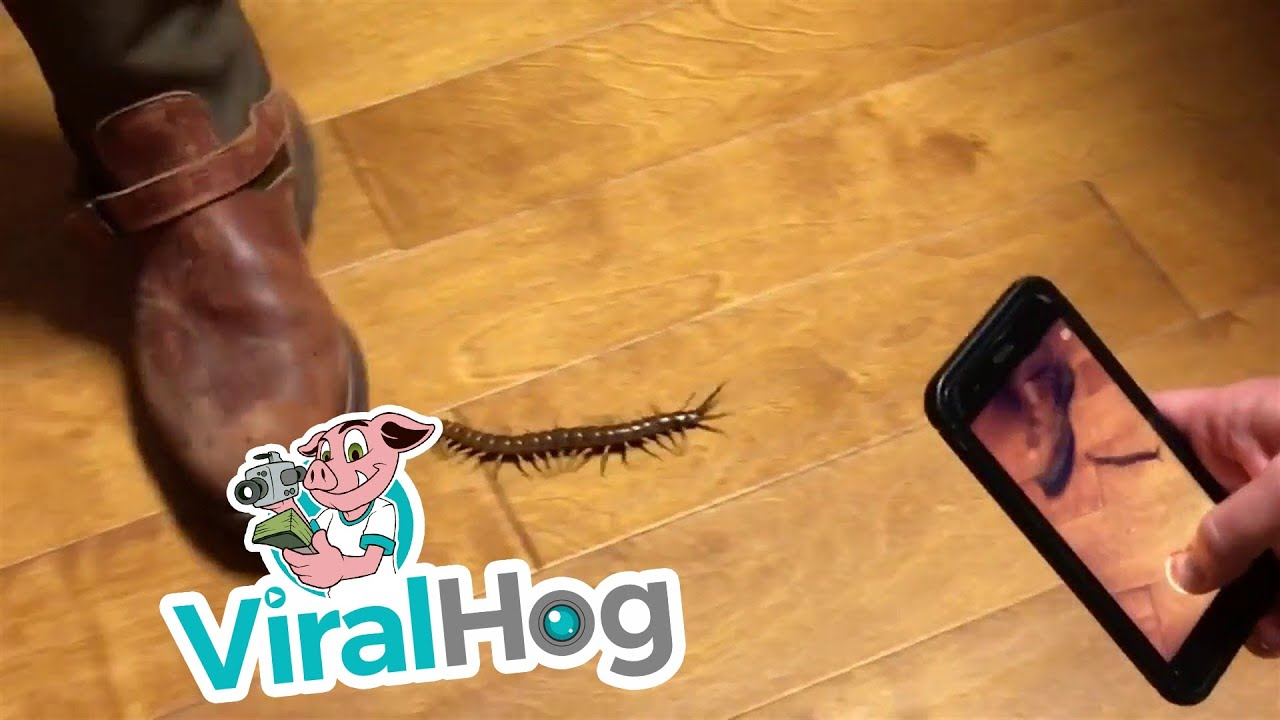 Funny Video: Huge Centipede Roaming Around The House