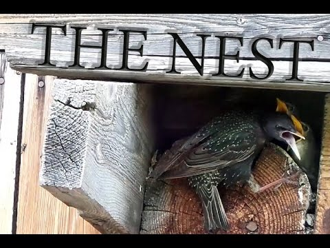THE NEST - One day with starling birds