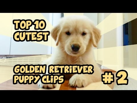 TOP 10 GOLDEN RETRIEVER PUPPY CLIPS PART 2