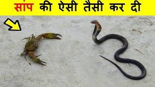 ये जीव एक दूसरे को देखते ही लड़ना शुरू कर देते हैं । Animals start fighting when they see each other.