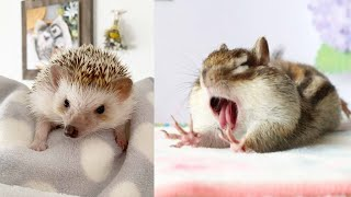 ЛУЧШИЕ ПРИКОЛЫ ХОМКИ СМЕШНЫЕ ЖИВОТНЫЕ 2020 (СМЕШНАЯ ОЗВУЧКА) Hamsters like #323 funny video
