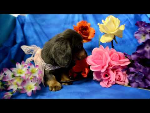 Miniature Dachshund Puppies For Sale **719-306-8118