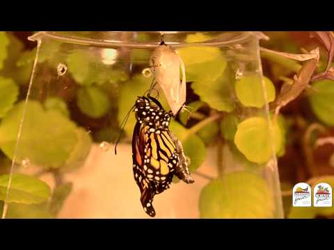 The Life History of Monarch Butterflies