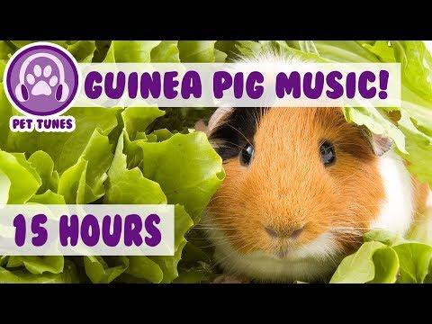 The BEST Remedy For Your Anxious Guinea Pig! The Only Pet Therapy For your Depressed Guinea Pig