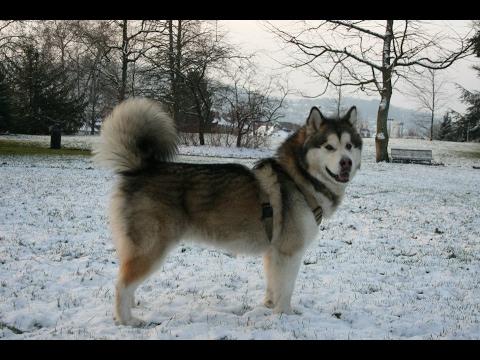 Alaskan Malamute Dog History, Personality, Health, Care