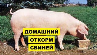 Откорм свиней в домашних условиях как бизнес идея | Свиноводство | Мясные, сальные и беконные свиньи