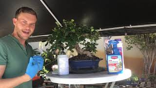 Bonsai Tree Maintenance & Care (Fertilizer Application And Insect Control) - The Bonsai Supply