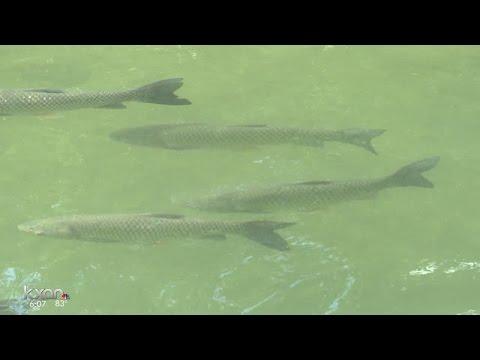 Too Many Carp Bother People Fishing On Lake Austin