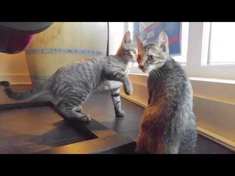 Bengal mix kittens - kitten wrestling