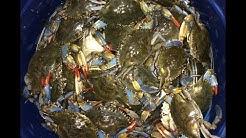 Blue Crabbing at Guana State Park - Florida Crabbing
