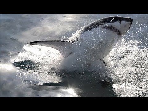 How many great white sharks are in Gansbaai, South Africa? | Dyer Island Conservation Trust