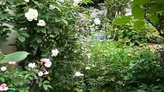 偶然に覗いたバラの合間から素敵な風景が見つかりました.