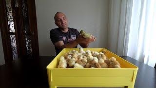 Инкубация куриных яиц(мини-мясные)//Таблица в описании