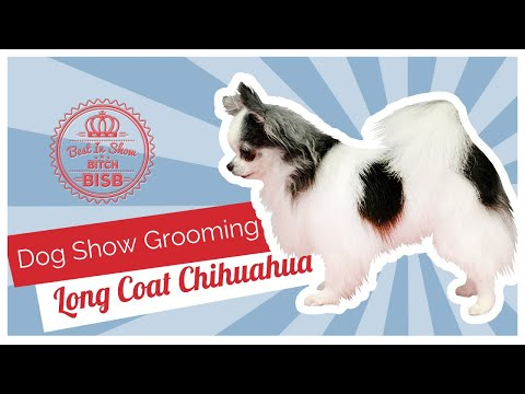 Dog Show Grooming: How To Groom A Long Coat Chihuahua