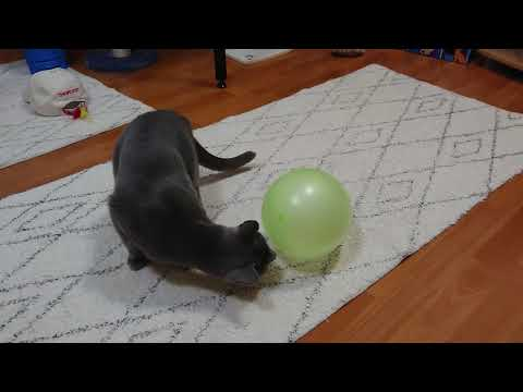 Caspian, a Russian blue cat, and a balloon 01