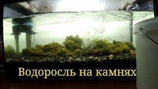 Водоросли на камнях из лимана в аквариуме/Seaweed on stones