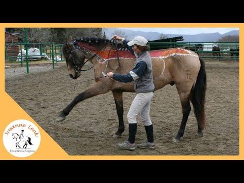 Estudio anatomía del del caballo: Músculo Longissimus dorsi, explicación y montado, camera lenta