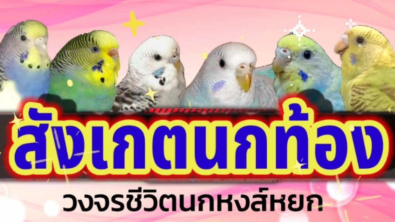 #สังเกตนกท้อง #วงจรชีวิตนกหงส์หยก #ดูแลนกท้อง