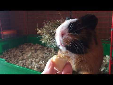 Морской свин Вася любит кушать бананы