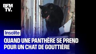 Quand une panthère se prend pour un chat de gouttière à Armentières