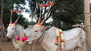 Excellent hallikar bullocks of Santhosh from Varthur, ready for parade