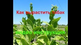 Как вырастить табак