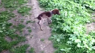 Дрессировка щенка курцхаара