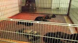 2 Weeks Old German Shepherd Ebi L Litter