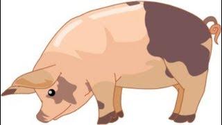 حقائق مرعبه .. الخنزير ..  صدق أو لا تصدق  | معلومه هامه وخطيره |